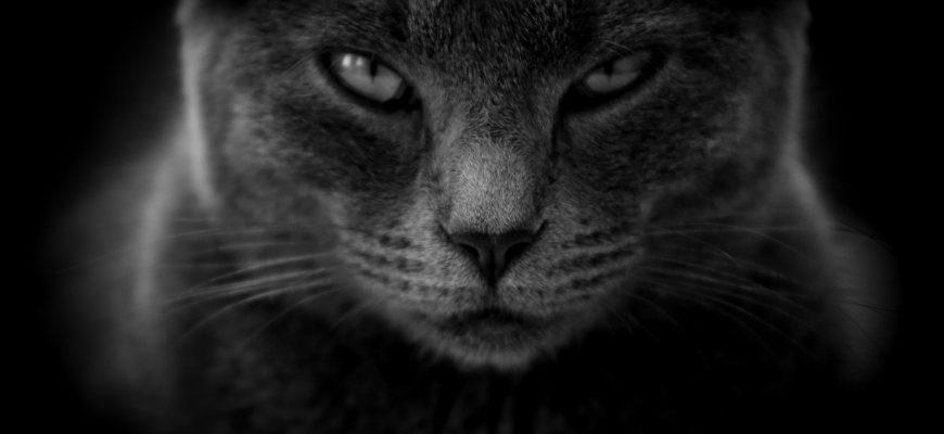 Красивый черный кот.