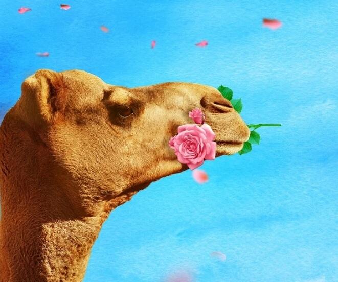 Верблюд с розой в зубах.