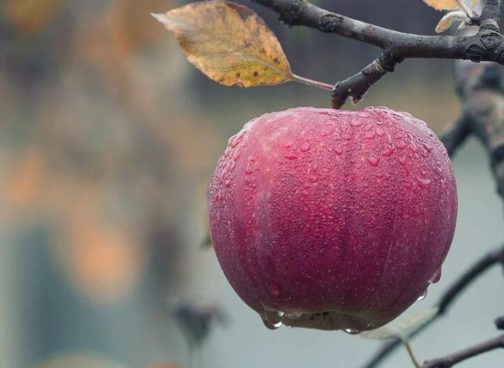 Красное яблоко на дереве.