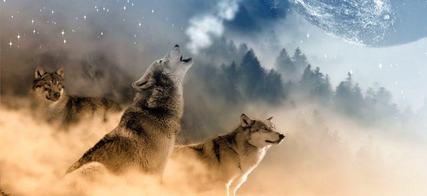 Волки. Красивые поговорки и пословицы про волка